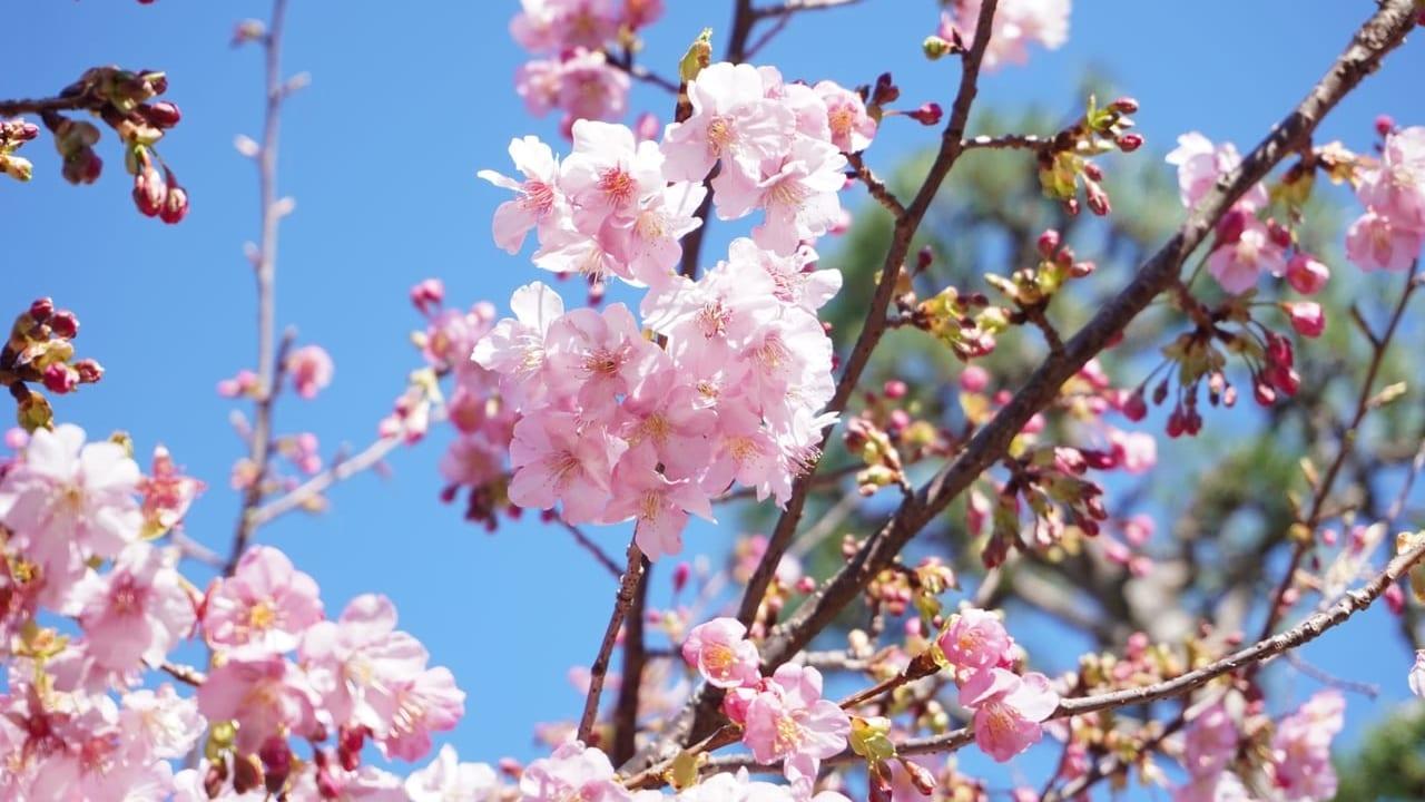 笠戸島河津桜まつり